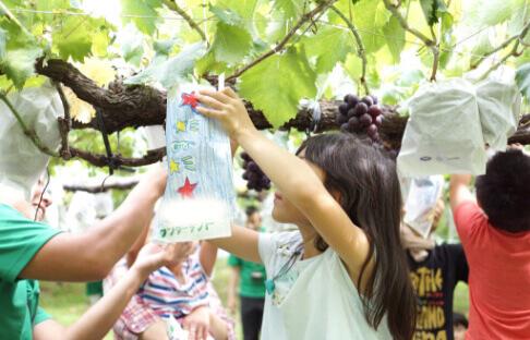 ぶどうを収穫している子供の写真